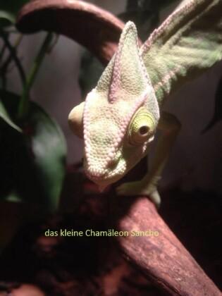 Das kleine Chamäleon Sancho
