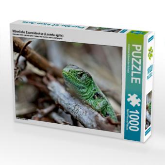 Männliche Zauneidechse (Lacerta agilis) (Puzzle)